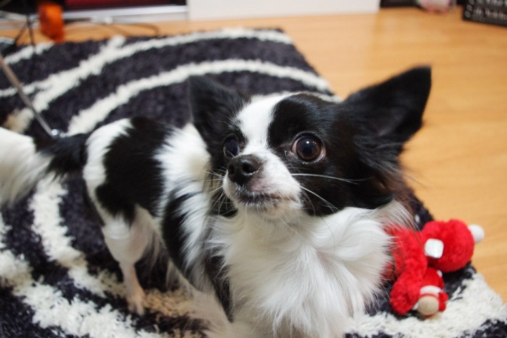 PENTAX K-xで撮影した愛犬(ピノ)
