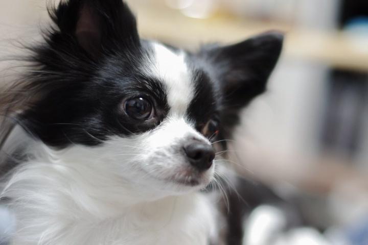 初めての単焦点レンズ撮影 - 愛犬(ピノ)