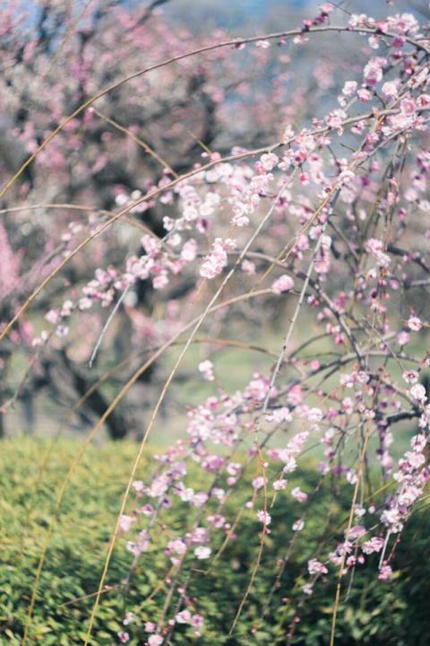 桜とぐるぐるボケ(Helios【ヘリオス】で撮影)
