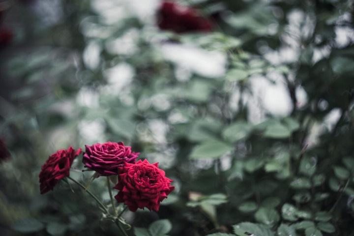 薔薇と玉ボケ(Helios【ヘリオス】で撮影)
