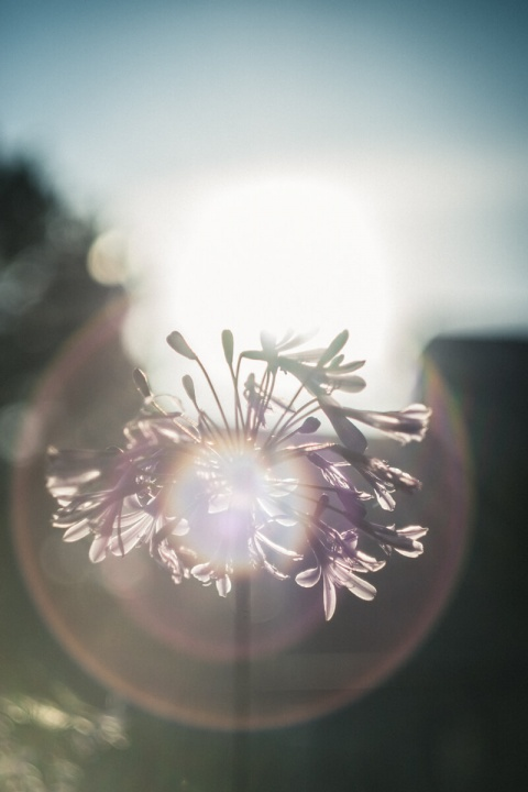 逆光に照らされる花(Helios【ヘリオス】で撮影)