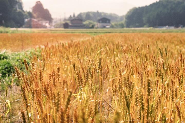 稲(Nikon EMで撮影)