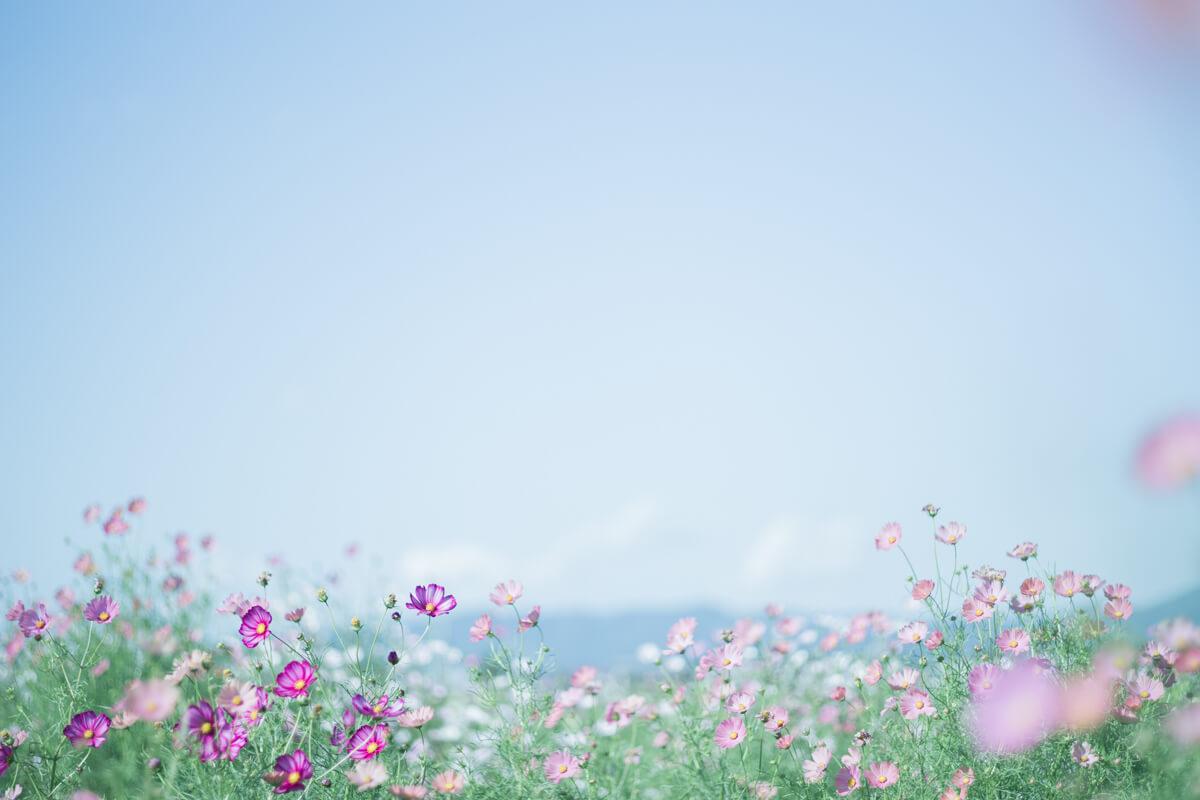 青空とコスモス畑