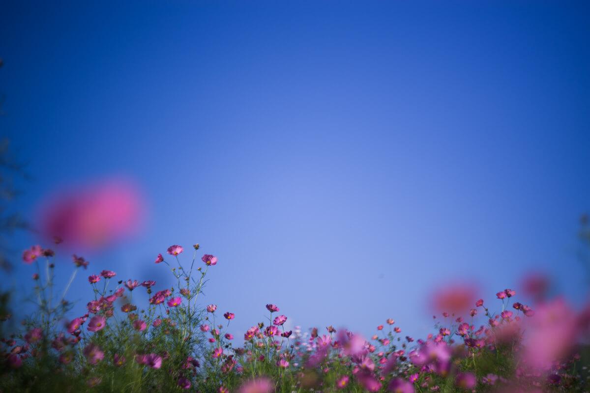 青空に咲くコスモス(Helios【ヘリオス】で撮影)