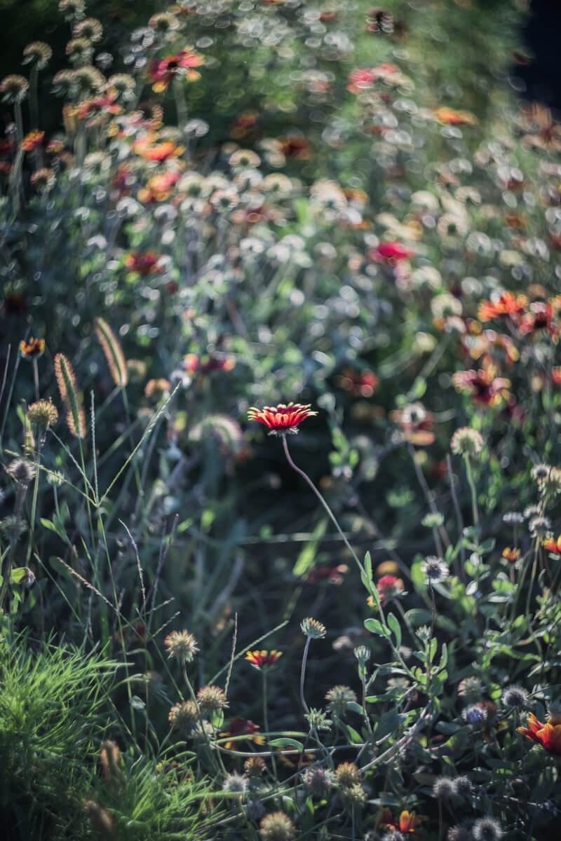 野に咲く花(Helios【ヘリオス】で撮影)