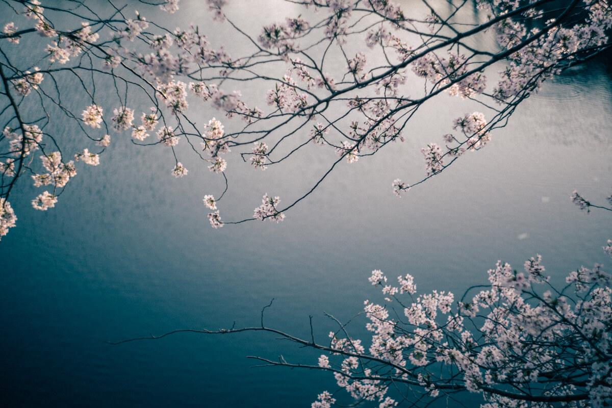 桜(Helios【ヘリオス】で撮影)