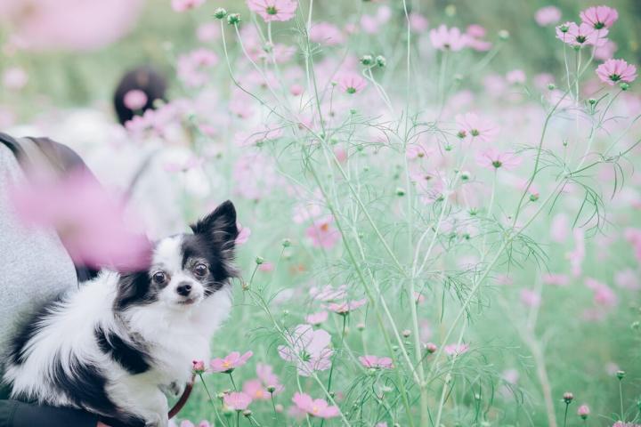 とよのコスモス畑にて 愛犬ピノとコスモス