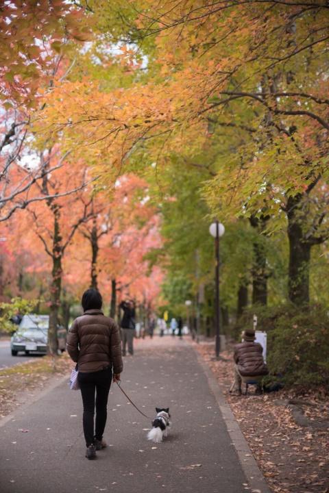 紅葉した三色彩道の並木道を散歩する愛犬と妻