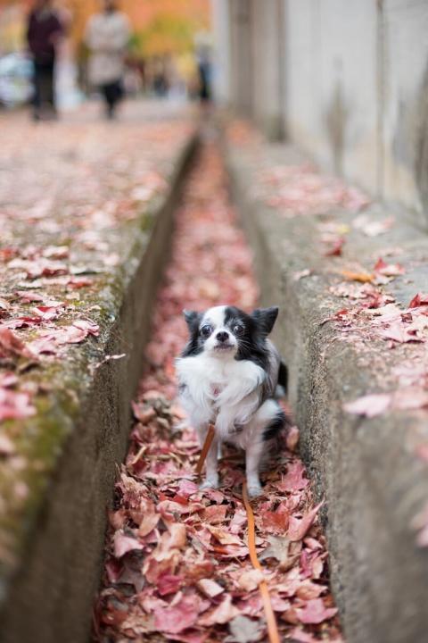 紅葉した三色彩道の並木道を散歩する愛犬