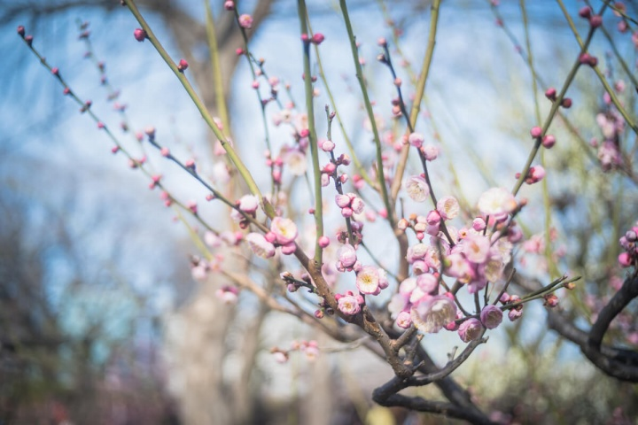 大阪城公園の梅林と青空