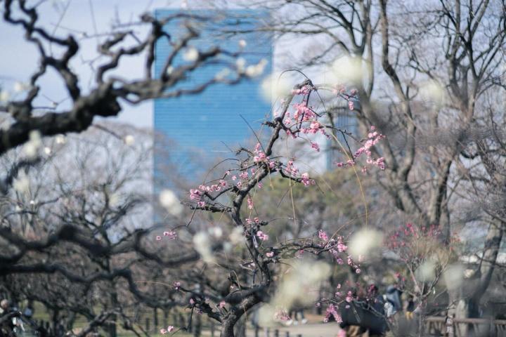 大阪城公園の梅林とオフィス
