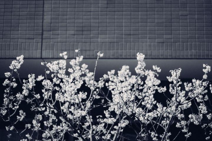 モノクロスナップ写真 梅